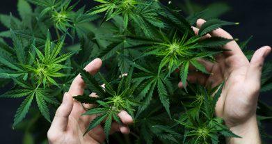 Che cos'è la Cannabis Light o Canapa Sativa L